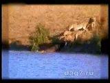 львы, быки и немного крокодила))))